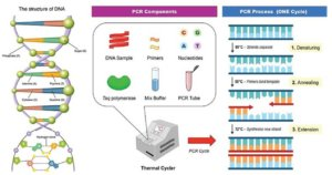 Qué es la PCR